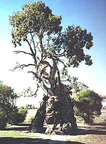 Famous South Australian Trees